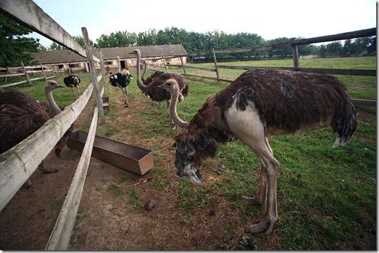 ostrich06[4]