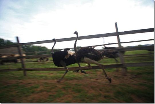 ostrich08